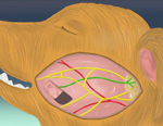 VM61イヌの乾燥性角結膜炎治療のための耳下腺管置換術
